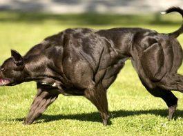 en güçlü köpekler sıralaması