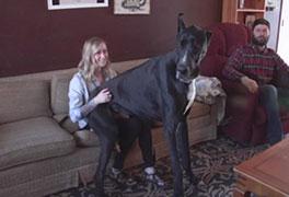 great dane köpek cinsi en güçlü köpek