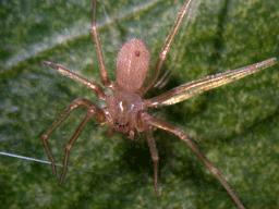 akdeniz münzevi örümceği