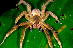 brezilya gezgin örümceği