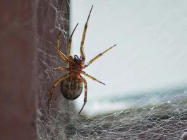 en zehirli örümcek