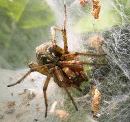 en zehirli örümcek huni ağ örümceği