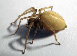 sarı kese örümceği